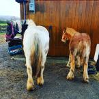 Lauren Michelle Clarke - Holly (left) 11yr old cob and Denzil (right) 9 month old cob. Taking massive benefits from the One Club only a week in and both have been spoilt rotten and of course under the ever protective wing of the insurance cover too